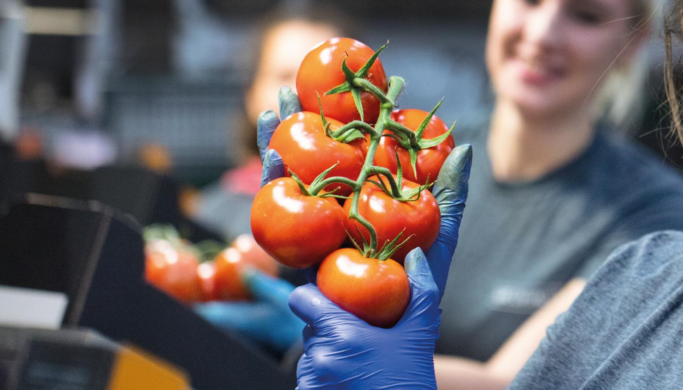 Tomaten Kwekerij GreenValley - Hygiënisch werken - De Lier 1400x800
