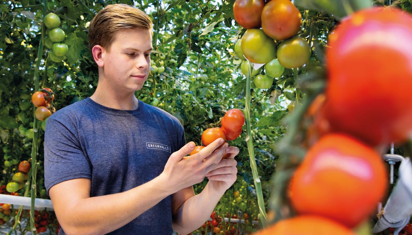 Tomaten Kwekerij GreenValley - Tomaten- De Lier 1400x800